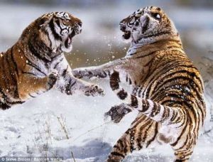 animal_fight_04