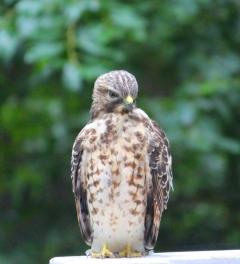 broodinghawk