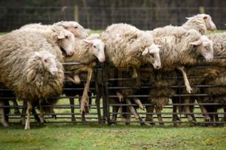 sheepfence