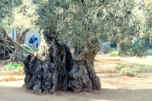 gnarly olive tree